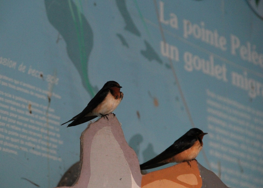 French speaking Barn Swallows