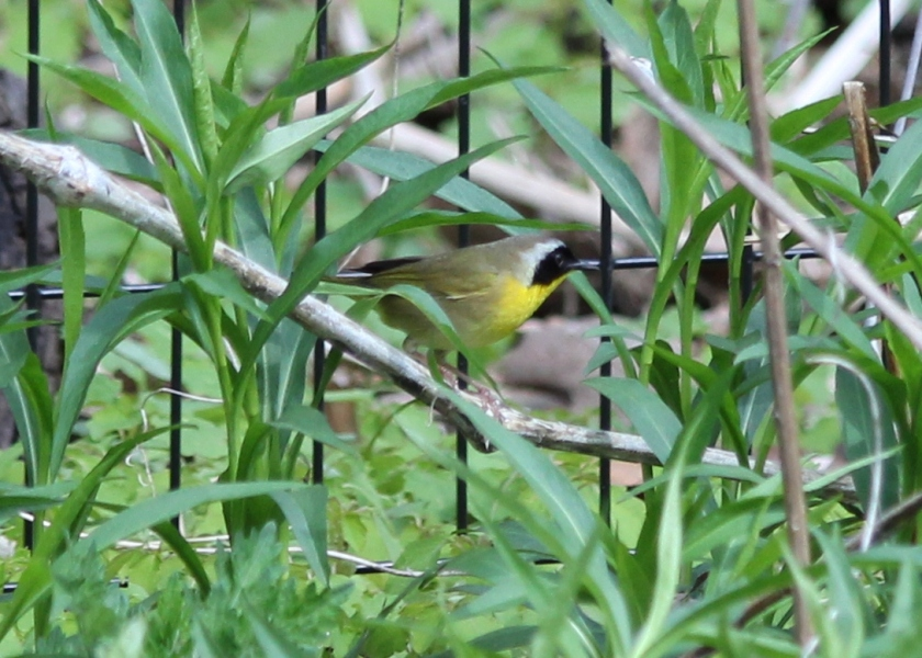 Male Common Yellowthroat at Prospect Park