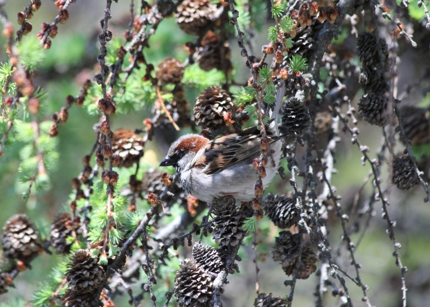 The House Sparrow.  Ignore the sparrow at your peril.