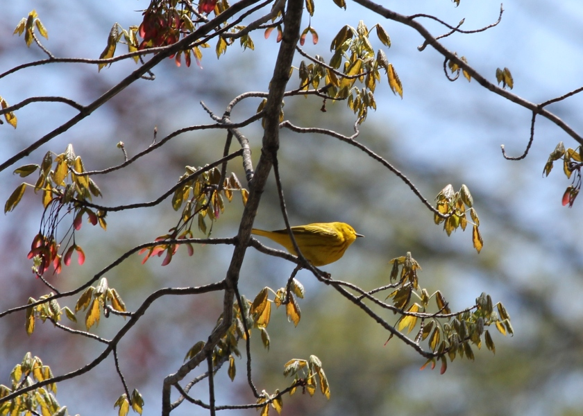 Yellow Warbler.  Because you know, it's pretty yellow.