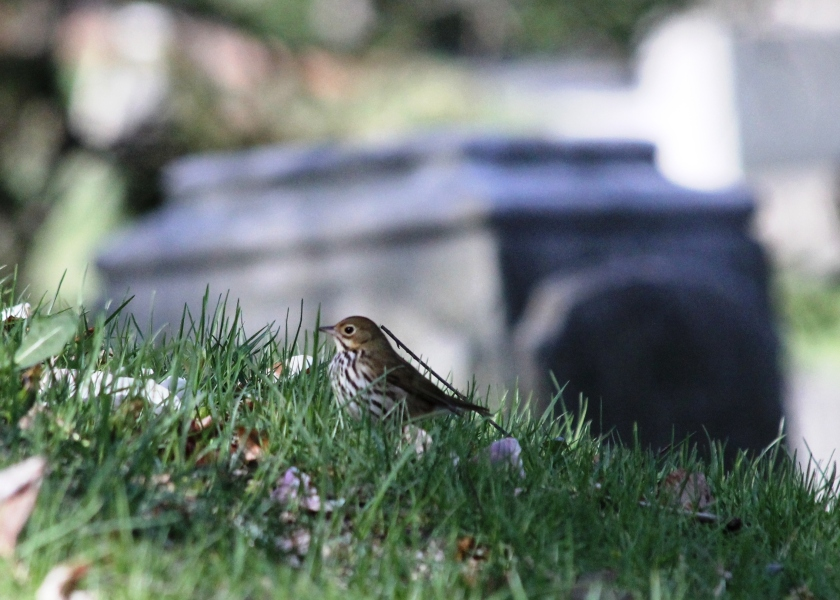 Ovenbird.  This bird got its name because it makes a nest that looks like a little Dutch Oven.