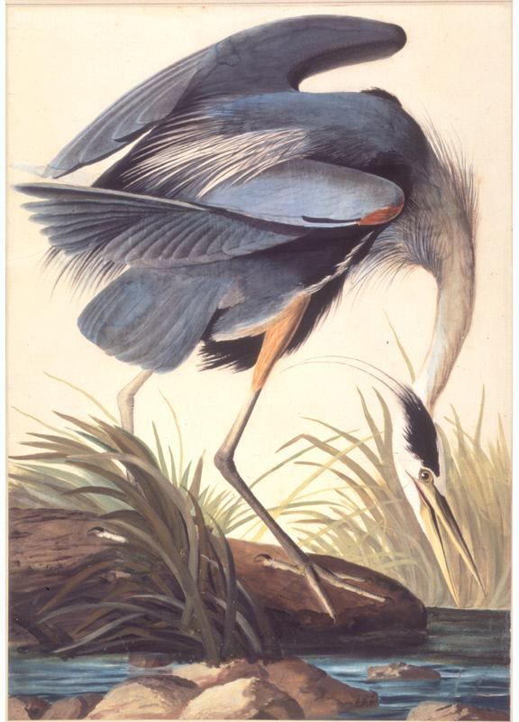 Audubon's Great blue heron