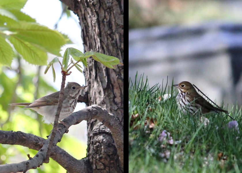 Looking grounded in neutrals.  Hermit Thrush vs. Ovenbird.