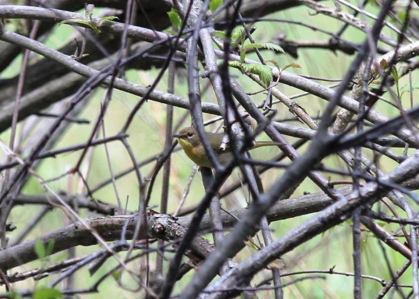 Female Common Yellowthroat Warbler