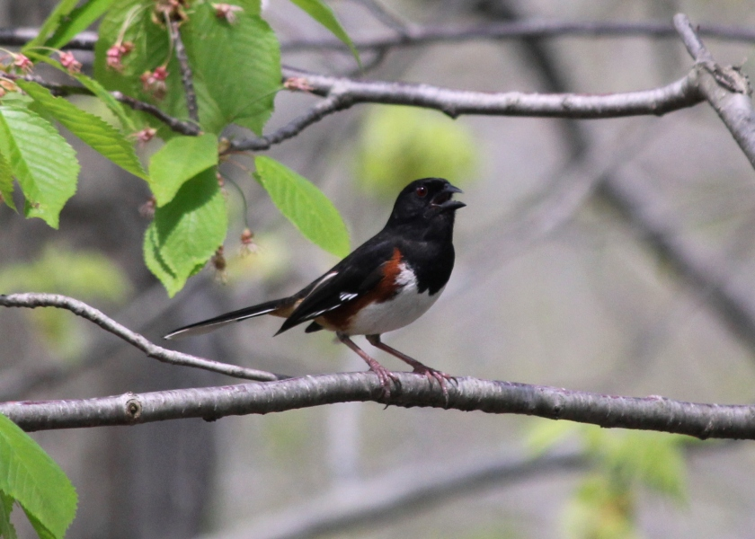 Towhee singing his heart out