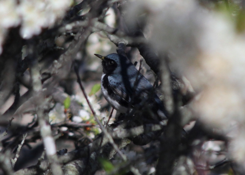 Black-Throated Blue Warbler in Beach Plum tree