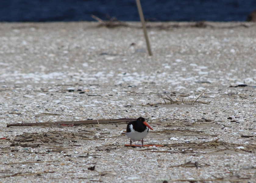 The American Oyster catcher nests at Sandy Hook, beak matches Dunkin Donuts straw.