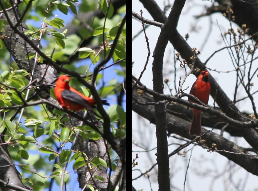 Red-hot style.  Scarlet Tanager vs. Northern Cardinal