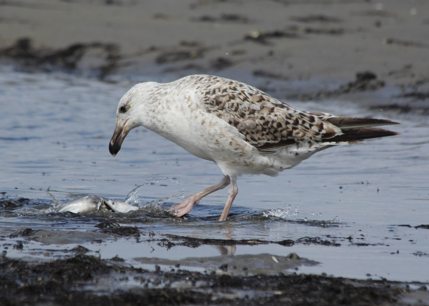 Gull assessing the best way to eat a fish