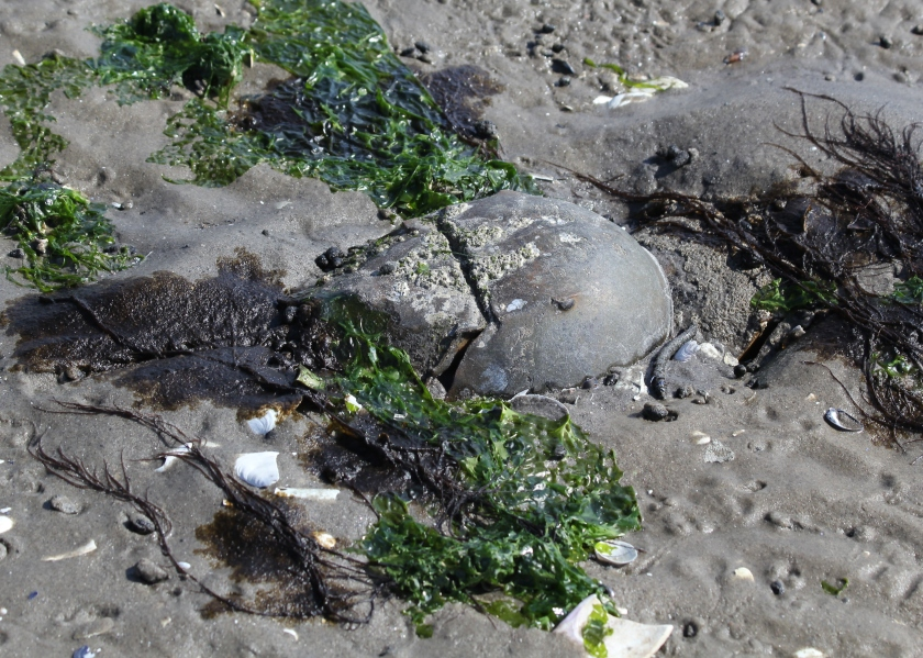 Horseshoe crab buried in the sand at Plumb Beach