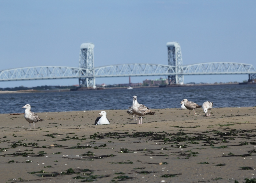 Gulls on Plumb Beach