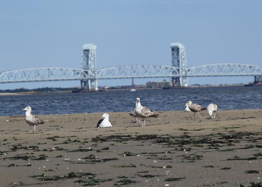 Gulls on Plumb Beach
