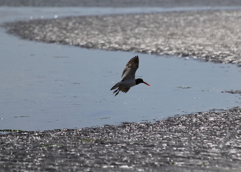 American Oystercatcher coming in for landing