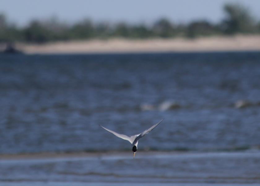 Least Tern diving