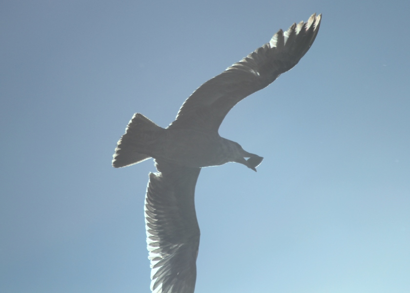 Gull angelically soaring with a muscle in his beak