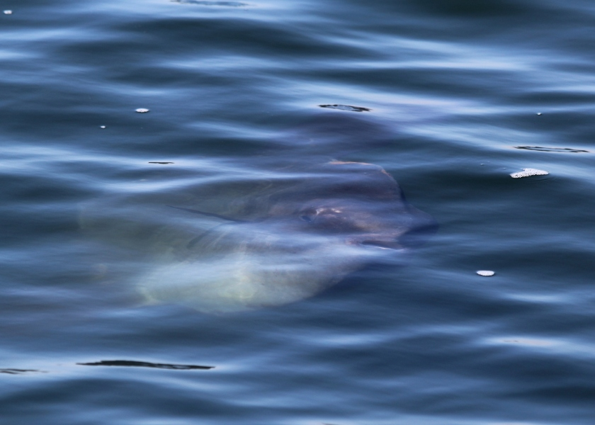 Mola Mola (is he smiling at us?)