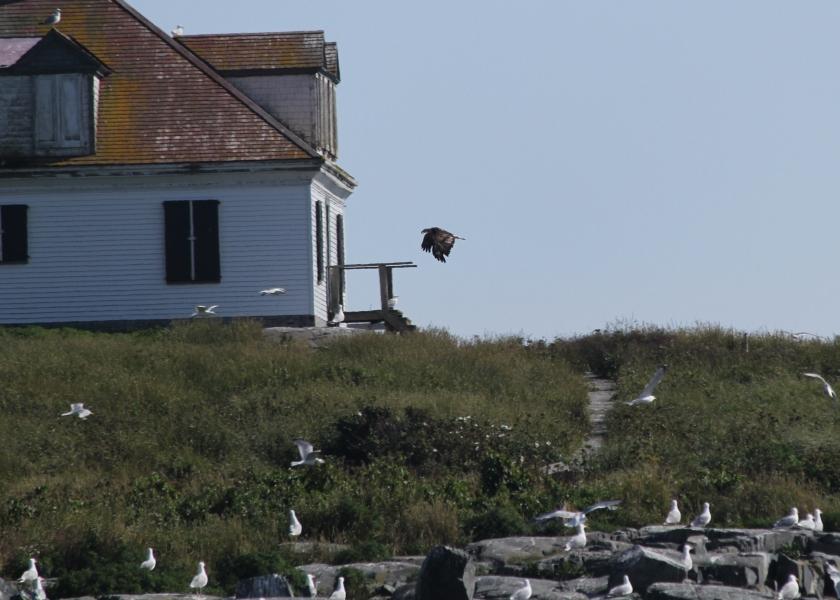 Bald Eagle taking off over Egg Rock.