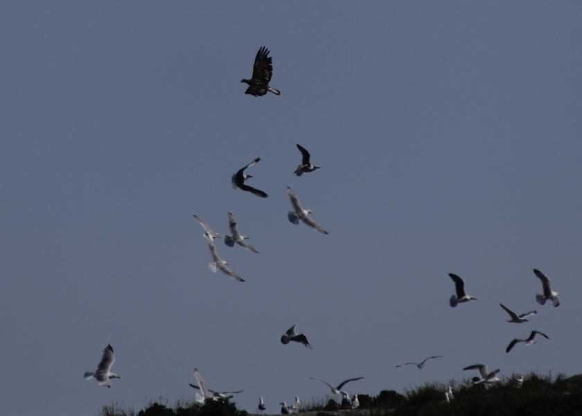 Seagulls attacking a Bald Eagle on Egg Rock Island.