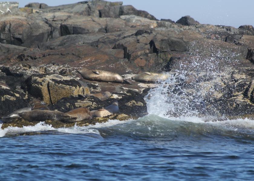 Seals resting on Egg Rock