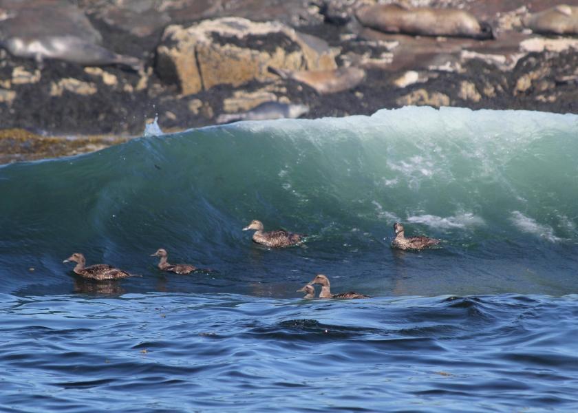 Eiders surfing near Egg Rock
