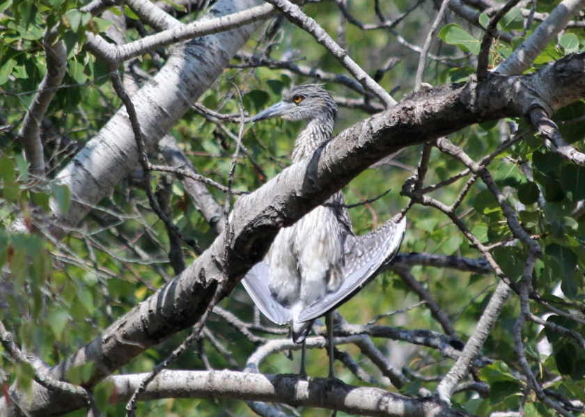 Juvenile Yellow-crowned Night Heron.  Young, but fierce.