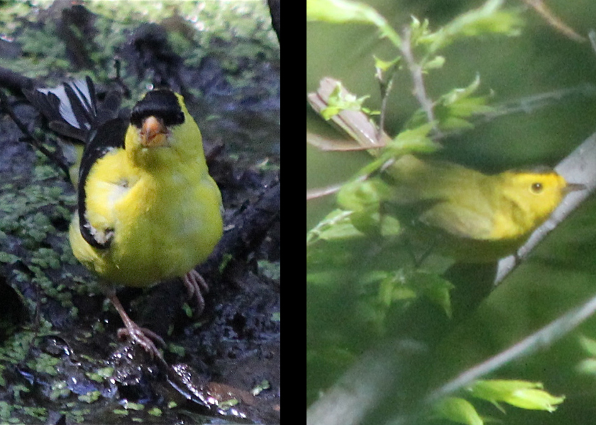 Goldfinch vs Wilson's
