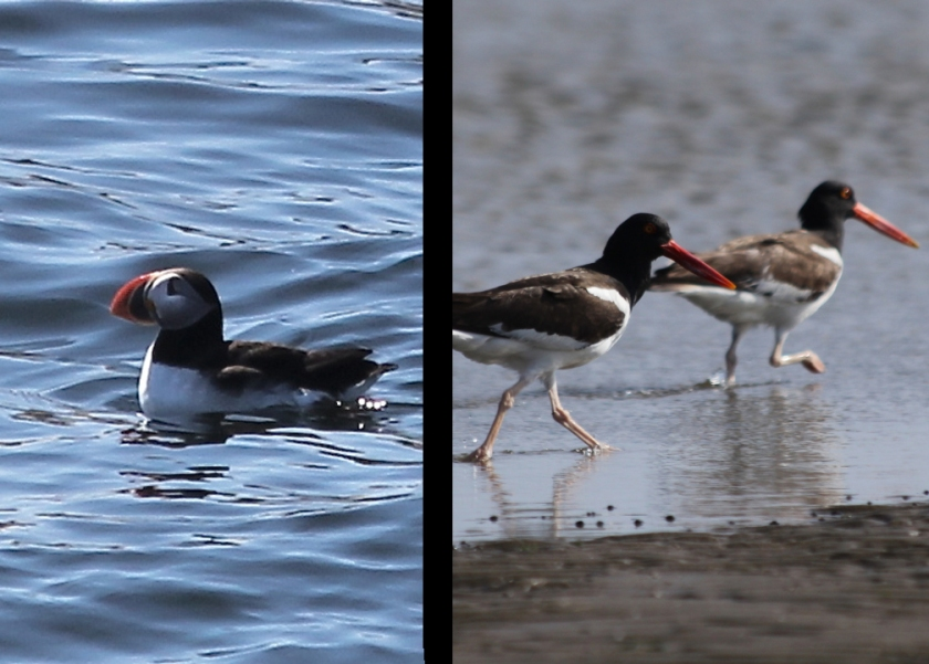 American Puffin vs. American Oystercatcher.  Both exude classic elegance in black and white with orange accent beaks.  But who owns the look more?