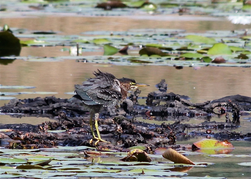 Can you spot the Green Heron at the Valley Water?