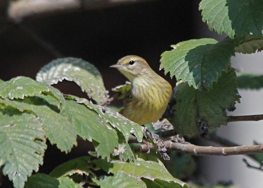 Another fine Palm Warbler.  You know there are a ton when we can get two decent pictures.