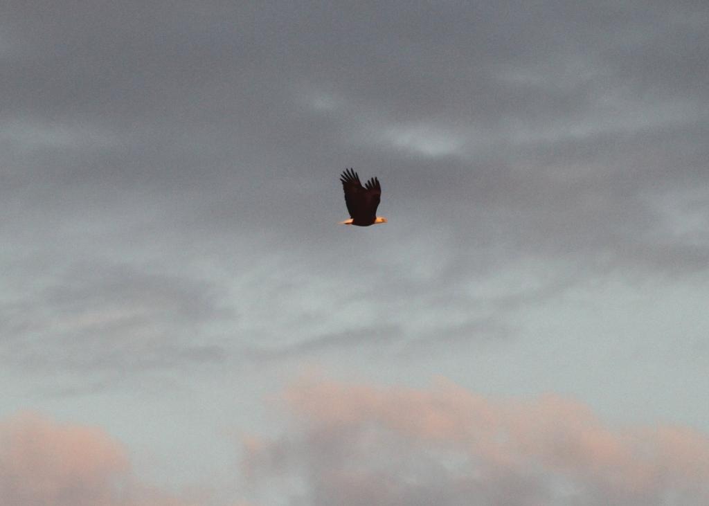 Bald Eagle flying over Higbee Beach