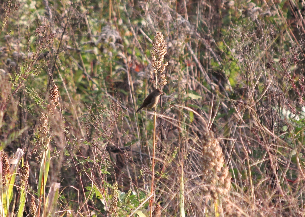 Goldfinch blends into the fields at Higbee beach while snacking on seeds.