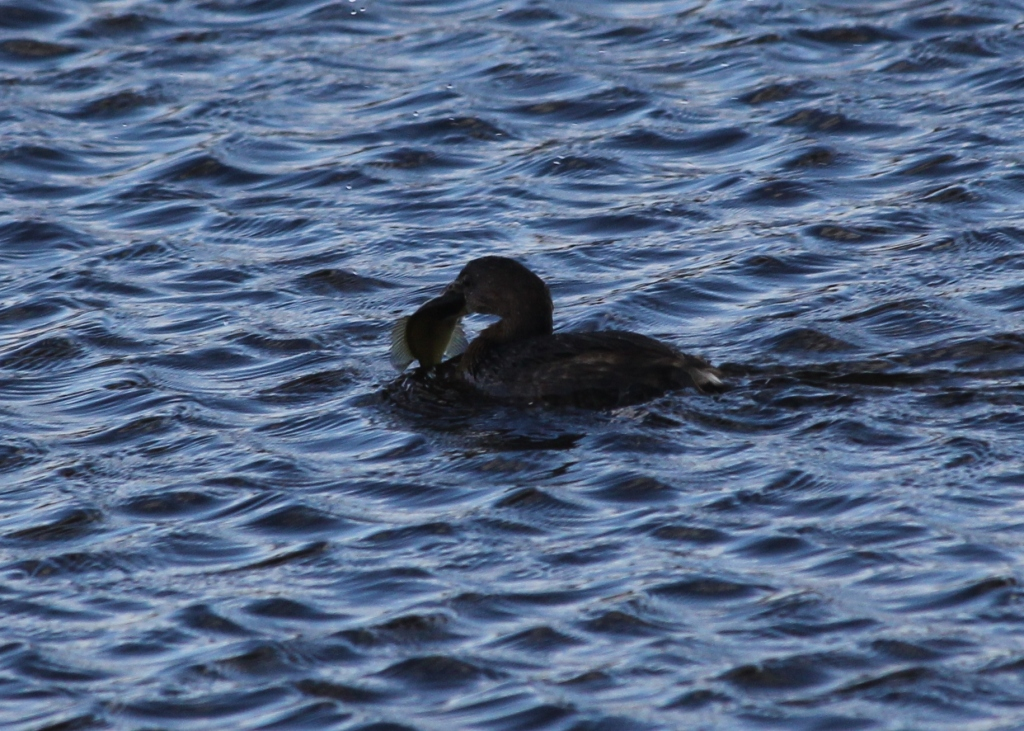 Pie-billed Grebe with large fish.