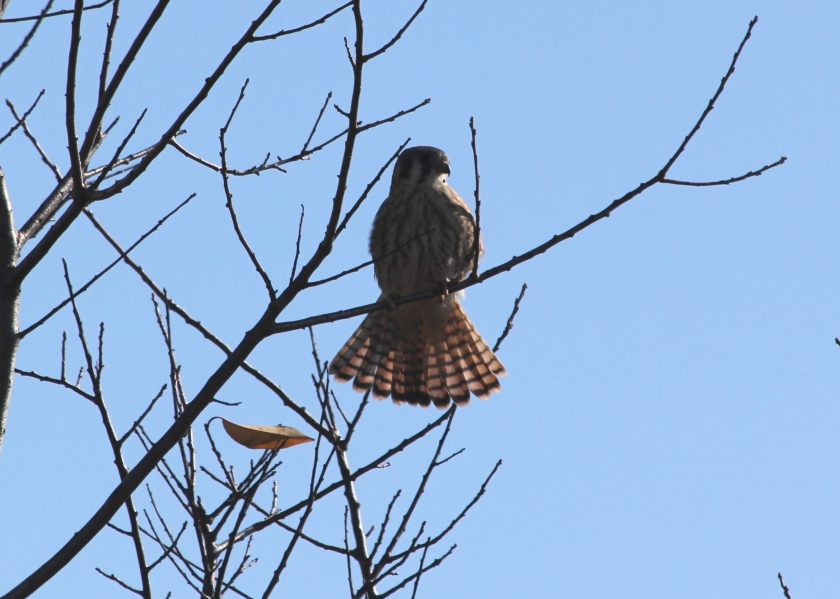 Kestrel at Floyd Bennett Field