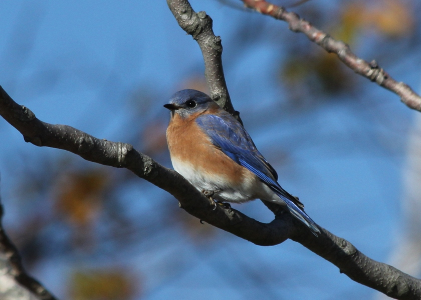 Eastern Bluebird- the state bird of New York!
