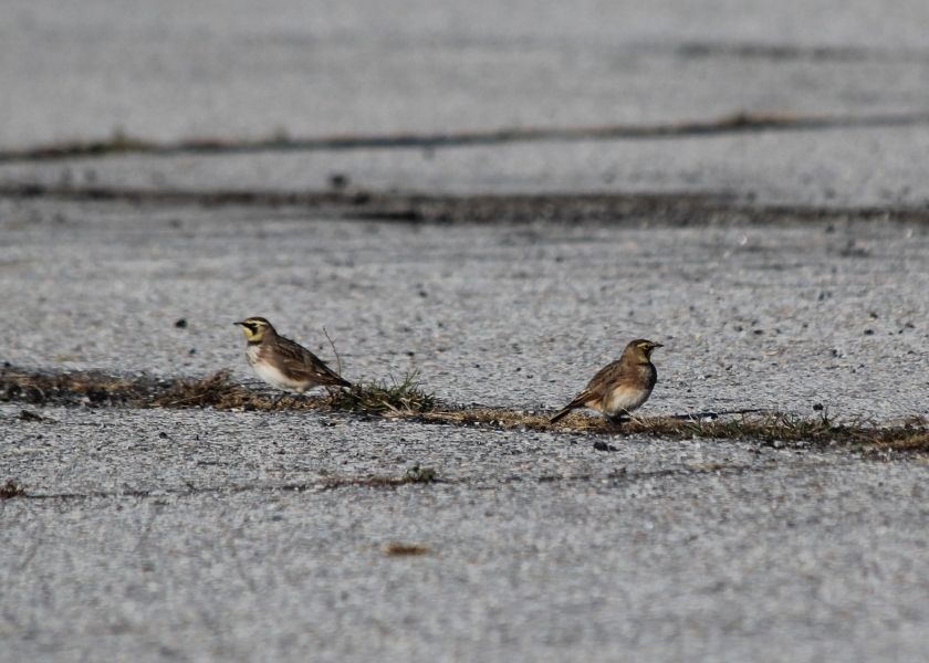 Pair of Horned Larks