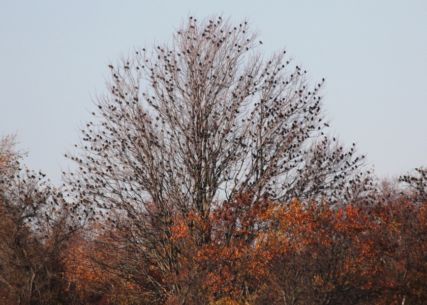 Tree with Starling for leaves.