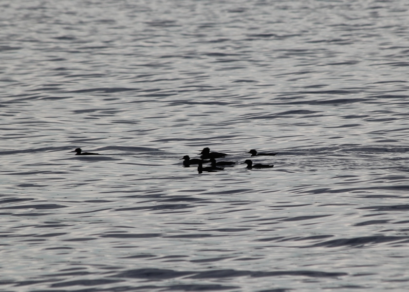 Red-breasted Mergansers at Horseshoe Cove