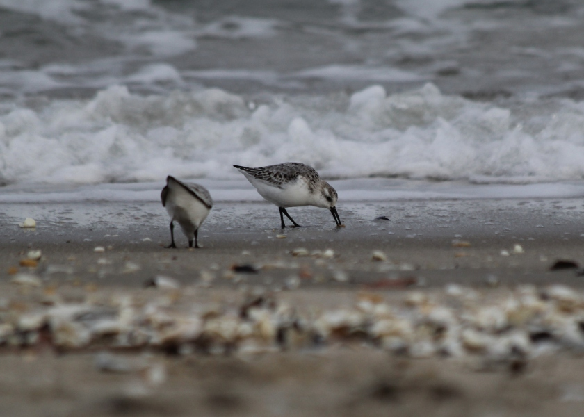 Sanderlings at North Beach