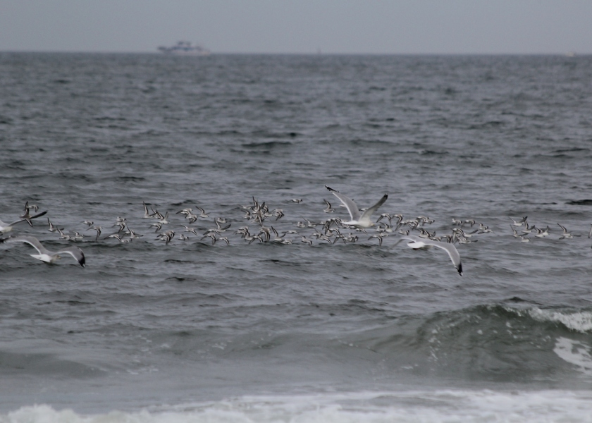 Sanderling flock with some gulls
