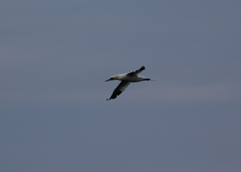 Northern Gannet- note the thick bill and yellow on face