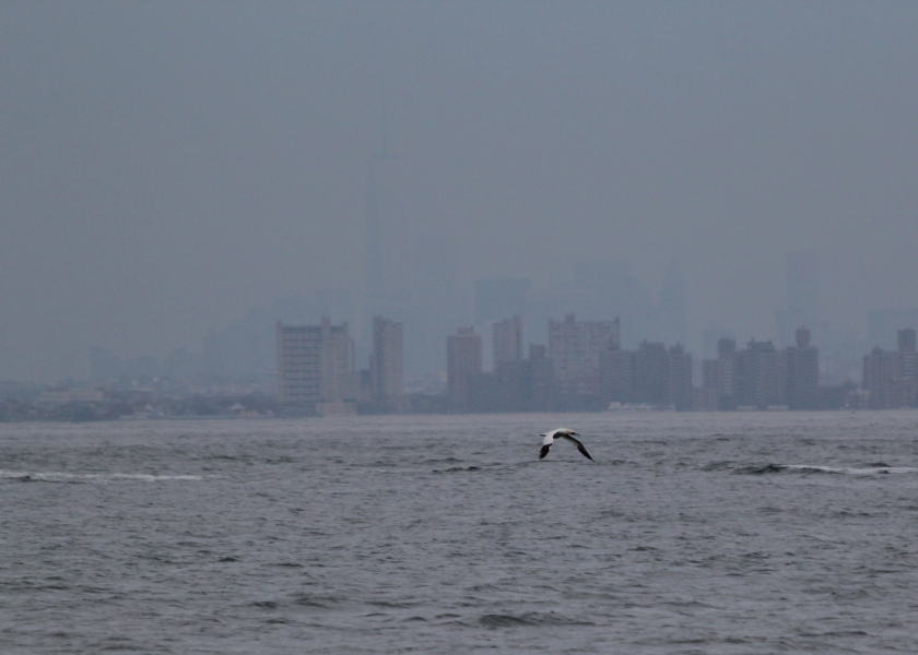 Northern Gannet with Coney Island and the Freedom Tower in the distance