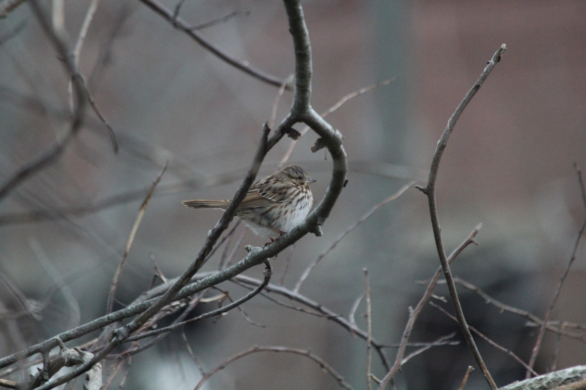 Song Sparrow at Floyd Bennett Field