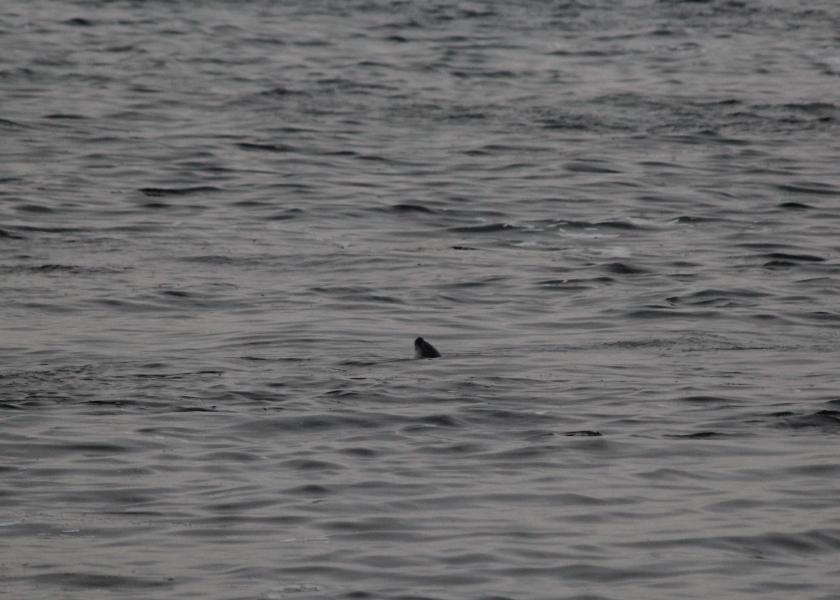 Harbor Seal Nose