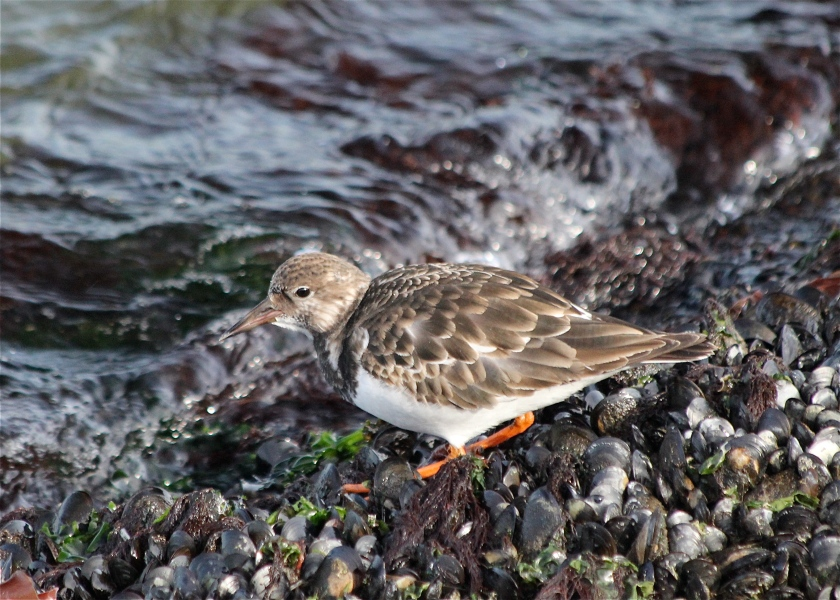 A Ruddy Turnstone.  We nicknamed this one Paul Ruddy Turnstone