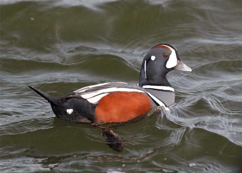 Male Harlequin Duck