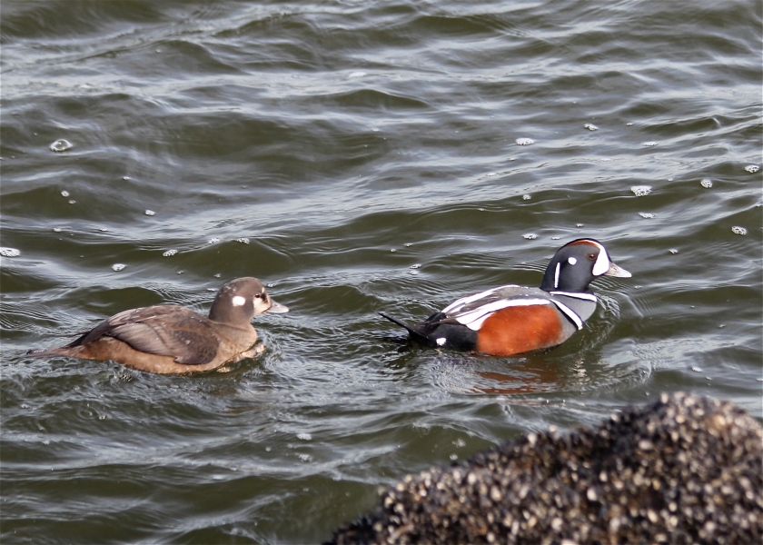 Pair of Harlequin Ducks