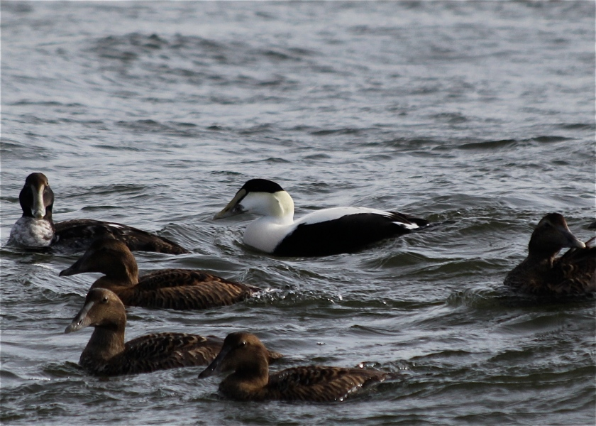 Adult male Common Eider among females and juveniles