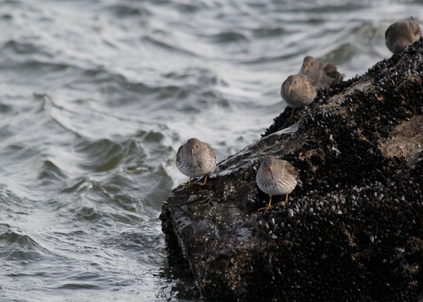 Purple Sandpipers stick to the rocks despite the surf