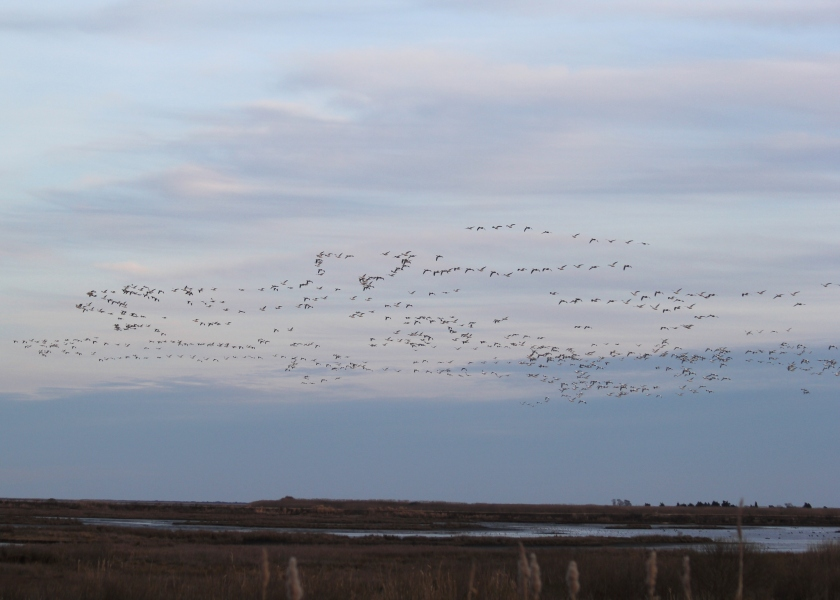 First wave of Snow Geese soaring over Brigantine