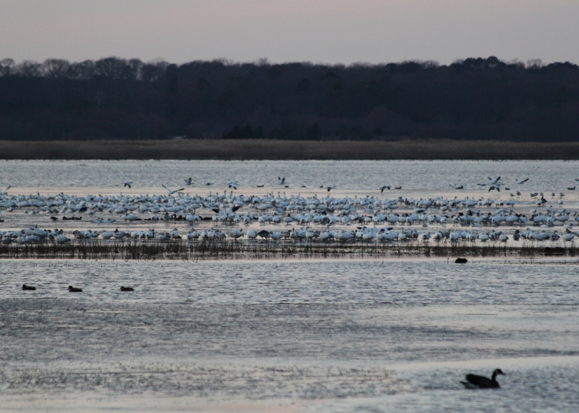 Snow Geese landing in Brigantine for the night